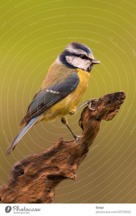 Natur blau schön grün weiß Tier Winter Leben gelb klein Garten Vogel Textfreiraum wild Wildtier Feder