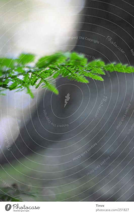 Farn Natur grün Pflanze grau Schönes Wetter