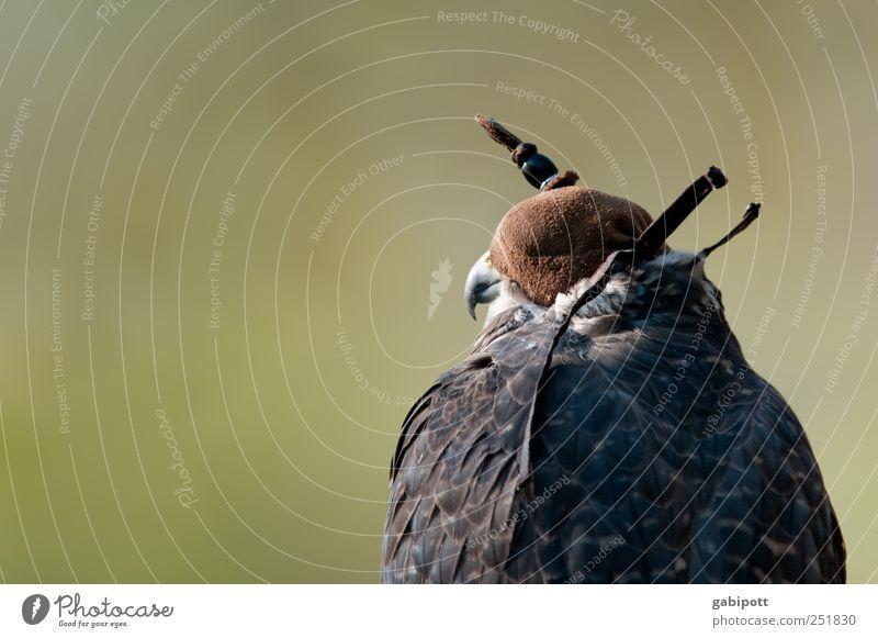 vor der Jagd Natur grün Tier Kopf braun Kraft Abenteuer wild Geschwindigkeit natürlich Wildtier Tiergesicht Konzentration historisch Willensstärke