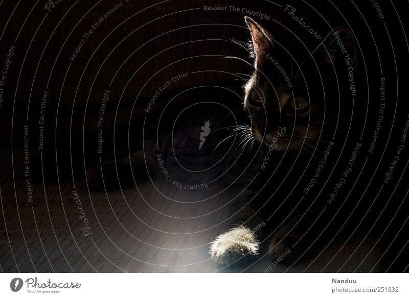 Corleone Tier dunkel Katze liegen Wachsamkeit Abenddämmerung Haustier Pfote Lichtspiel Lichteinfall