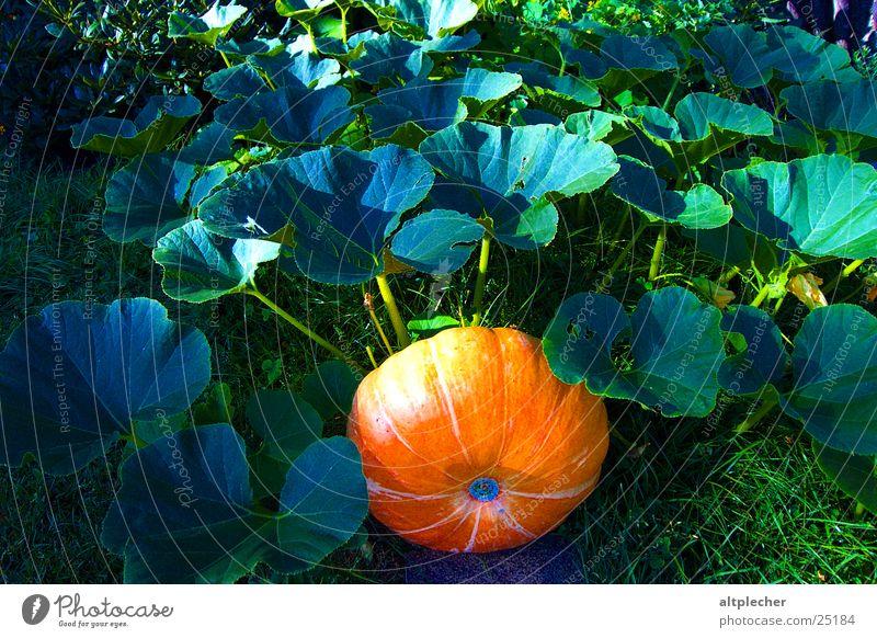 Kürbis im Grünen Natur Blatt Garten Wachstum Gemüse Kürbis Reifezeit