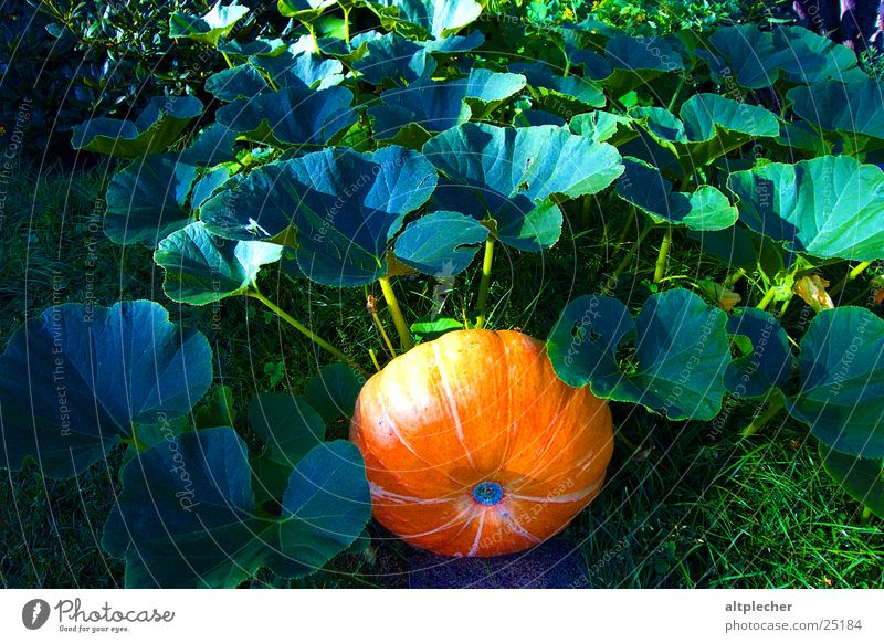 Kürbis im Grünen Natur Blatt Garten Wachstum Gemüse Reifezeit