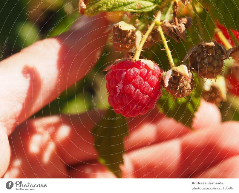 Himbeeren ernten Frucht Bioprodukte Vegetarische Ernährung Diät Gesunde Ernährung lecker süß Ernte Garten Hand Nahaufnahme Sonne Sommer fruchtig rot reif