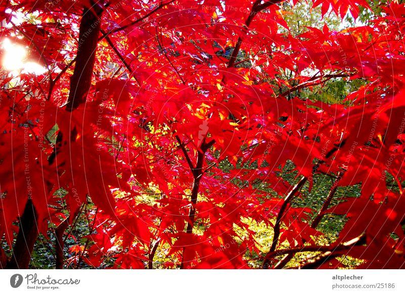 Rotahorn Baum Ahorn rot Gegenlicht Natur Garten