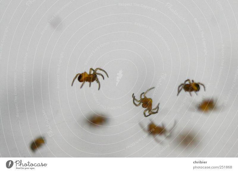 Arachnodingsda Natur Tier Leben Bewegung klein bedrohlich Tiergruppe viele hängen bauen Ekel Spinne krabbeln Spinnennetz Spinngewebe