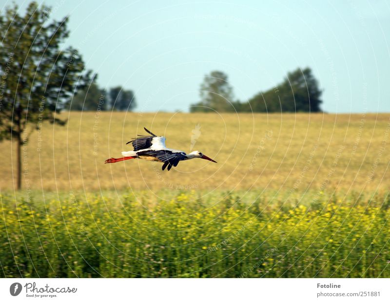 Landeanflug Pflanze Tier Urelemente Luft Sommer Baum Feld Wildtier Vogel Flügel hell natürlich Storch Schnabel fliegen Flugzeuglandung Farbfoto mehrfarbig