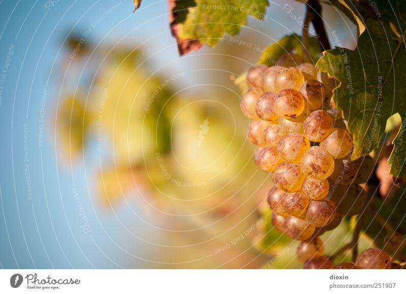 Spätlese [1] Himmel Natur Pflanze Blatt Herbst Wachstum süß Wein Landwirtschaft Schönes Wetter lecker reif genießen Alkohol saftig Sekt