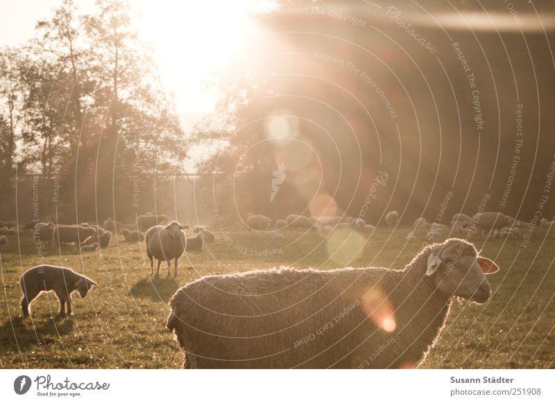 [CHAMANSÜLZ 2011] Guten Morgen Sonne! Baum Sonne Wiese Feld Wildtier Tiergruppe Schaf genießen Herde Nutztier Lamm Blendenfleck Schafherde Tier Schafswolle