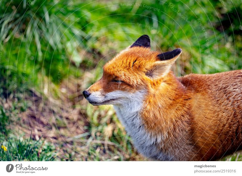 Europäischer Rotfuchs Natur Tier Wald Wildtier stehen wild wach Hintergrund Briten Fleischfresser England Fauna Fuchs Säugetier heimatlich nachtaktiv friedlich