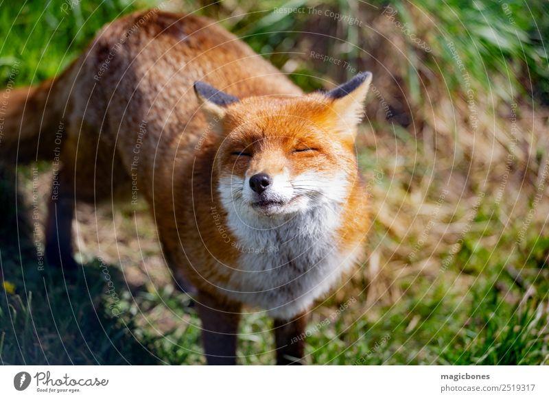 Europäischer Rotfuchs Natur Tier Wildtier stehen wild wach Hintergrund Briten Fleischfresser England Fauna Fuchs Säugetier heimatlich nachtaktiv friedlich