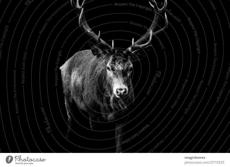Ein wilder Rothirsch, Cervus elaphus, isoliert auf schwarzem Hintergrund Hirsch Bleßwild Hirsche Horn schwarz auf weiß vereinzelt wilde Hirsche richmond park