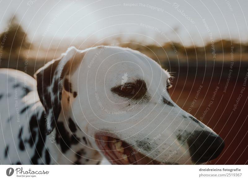 Dalmatiner bei Sonnenuntergang Sonnenaufgang Sonnenlicht Sommer Tier Haustier Hund 1 Blick ästhetisch authentisch Freundlichkeit Freude Glück Fröhlichkeit