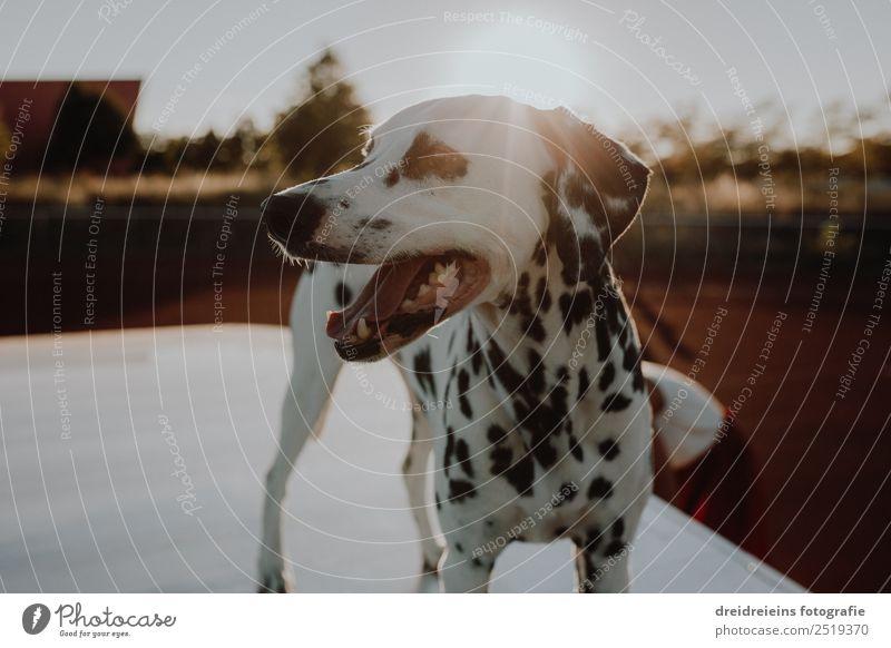 Dalmatiner bei Sonnenuntergang Sonnenaufgang Sonnenlicht Sommer Schönes Wetter Tier Haustier Hund 1 beobachten entdecken stehen warten schön einzigartig