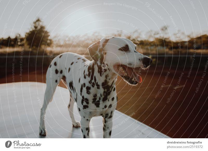 Dalmatiner bei Sonnenuntergang Sonnenaufgang Sonnenlicht Sommer Schönes Wetter Tier Haustier Hund 1 stehen warten ästhetisch Freundlichkeit schön natürlich
