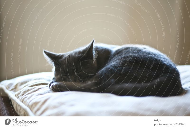 morgens, mittags, abends Häusliches Leben Wohnung Sofa Wohnzimmer Kissen Haustier Katze Hauskatze 1 Tier Tierjunges Erholung liegen schlafen träumen kuschlig