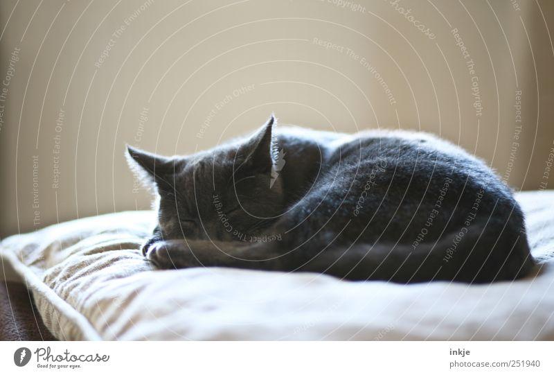 morgens, mittags, abends ruhig Tier Erholung Gefühle Katze träumen Stimmung braun Zufriedenheit Tierjunges Wohnung liegen schlafen Häusliches Leben niedlich weich