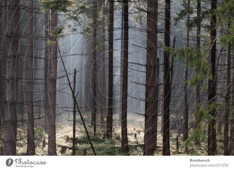 leuchtender Fichtelwald Umwelt Natur Landschaft Pflanze Herbst Nebel Baum Gras Sträucher Moos Fichtenwald Baumstamm Baumstumpf Nadelwald Ast Wald