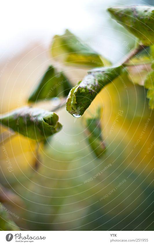 Der Herbst ist da. Umwelt Natur Pflanze Urelemente Wasser Wassertropfen Blatt Grünpflanze Wildpflanze frisch grün Unschärfe Herbstbeginn tropfend gerollt