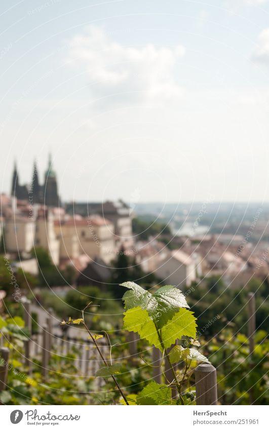 Burgbergwein Himmel Wolken Pflanze Blatt Grünpflanze Nutzpflanze Wein Weinberg Weinbau Hügel Hauptstadt Altstadt Skyline Sehenswürdigkeit Wahrzeichen Hradschin