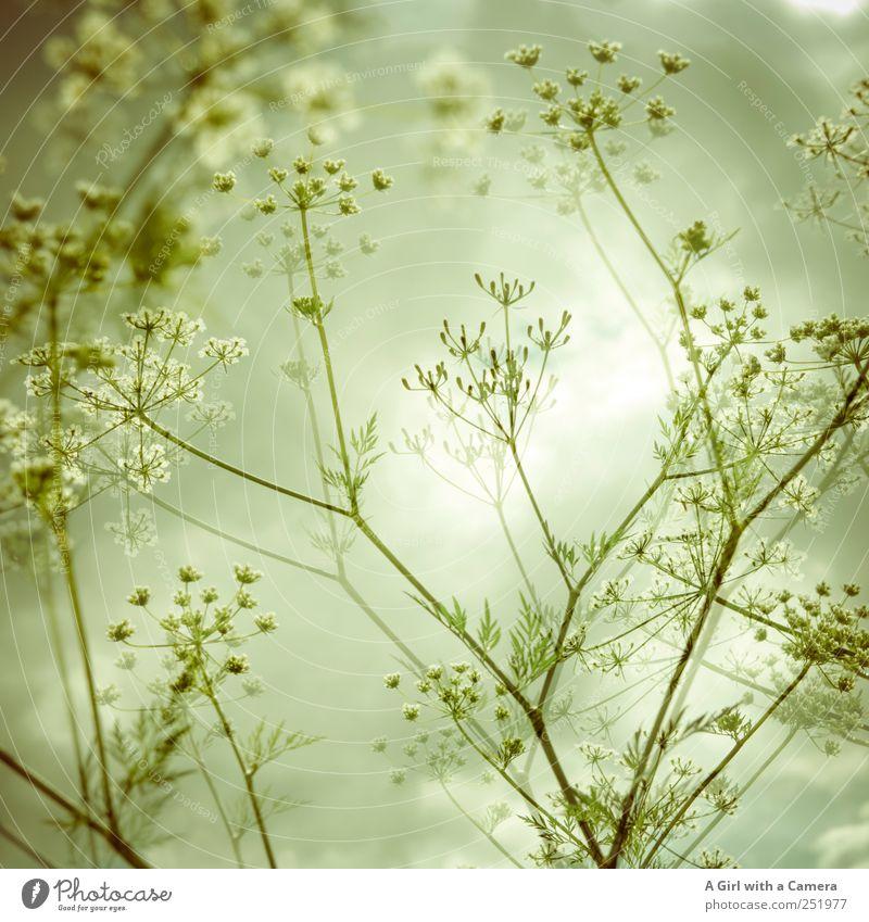 as light as summer Umwelt Natur Pflanze Sommer Blume Blüte Wildpflanze Wiese Feld leuchten Wachstum dünn authentisch elegant Freundlichkeit Fröhlichkeit schön