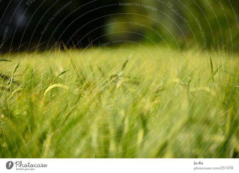 Das Feld nun steht in Ähren Natur Ferien & Urlaub & Reisen Sonne Sommer ruhig Umwelt Landschaft Erde Wetter Wind Feld Wachstum beobachten Warmherzigkeit streichen berühren