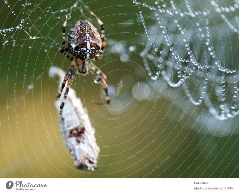 'In'Sektfrühstück Umwelt Natur Tier Urelemente Wasser Wassertropfen Wildtier Spinne fangen nass natürlich Kreuzspinne Fressen Beute Farbfoto mehrfarbig