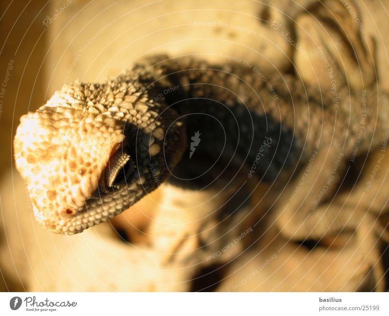 bartagam Echsen beige Salamander Verkehr