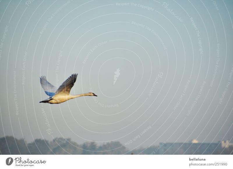 Der Sonne entgegen. Umwelt Natur Landschaft Himmel Wolkenloser Himmel Schönes Wetter Nebel Tier Wildtier Vogel Schwan Flügel 1 fliegen elegant fantastisch frei