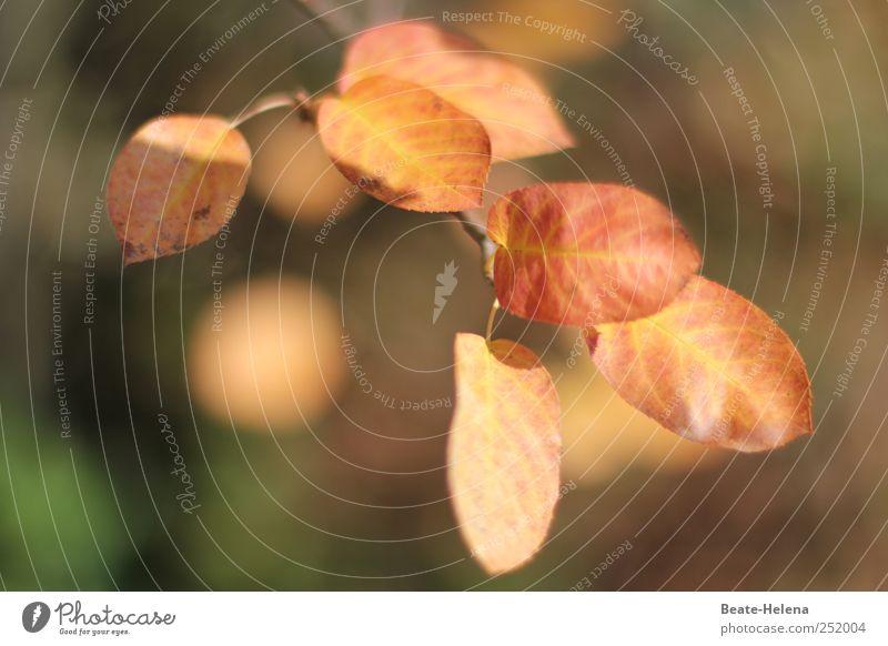 Herbstleuchten Natur grün Blatt Herbst braun gold Beginn ästhetisch Wachstum leuchten Sträucher Schönes Wetter Schmuck Jahreszeiten Herbstlaub Herbstfärbung