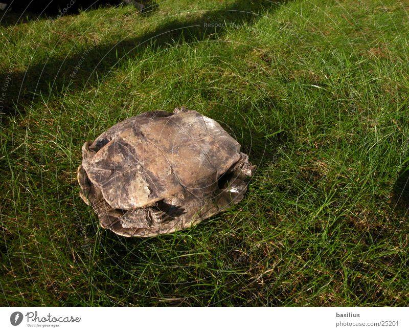 schildkröte. Verkehr schildkröte kröte gras