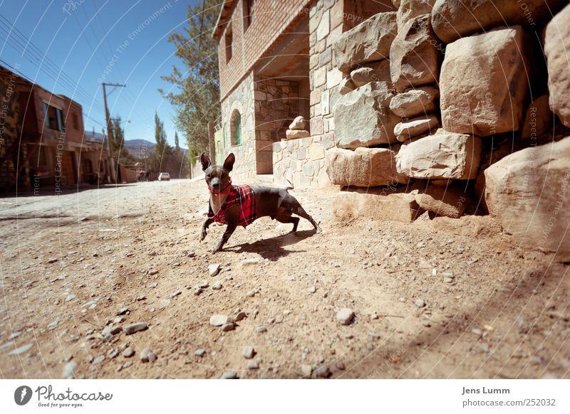 Ren without Stimpy blau rot Tier Wand springen Hund braun Neugier heiß Pullover Haustier Kies Argentinien Schotterstraße