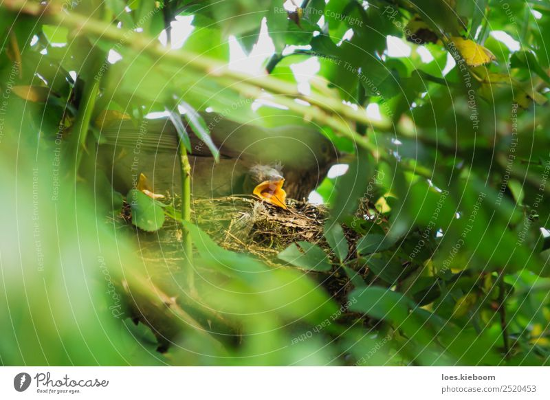 Two Blackbird chicks in a hidden nest with mother on top Leben Sommer Baby Familie & Verwandtschaft Natur Tier Vogel 3 Tierjunges Tierfamilie füttern braun gelb