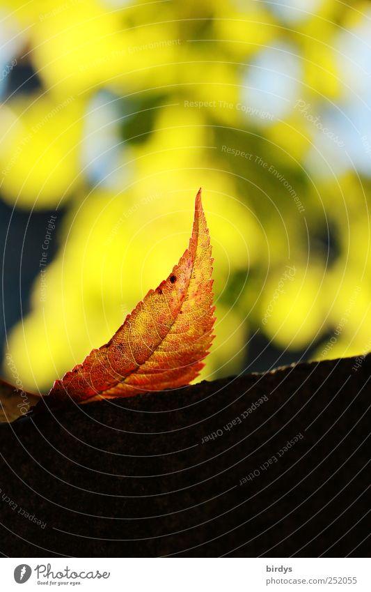 Herbstlicht Natur schön Pflanze Blatt Farbe Herbst elegant ästhetisch Wandel & Veränderung leuchten Spitze Freundlichkeit Schönes Wetter Herbstlaub Blattadern Herbstfärbung