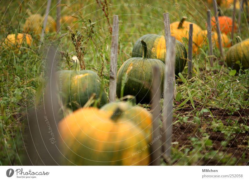 Erntezeit grün gelb Wiese Garten Lebensmittel Feld Erde liegen Wachstum rund Gemüse reif Kürbis Grünpflanze Nutzpflanze Kürbiszeit