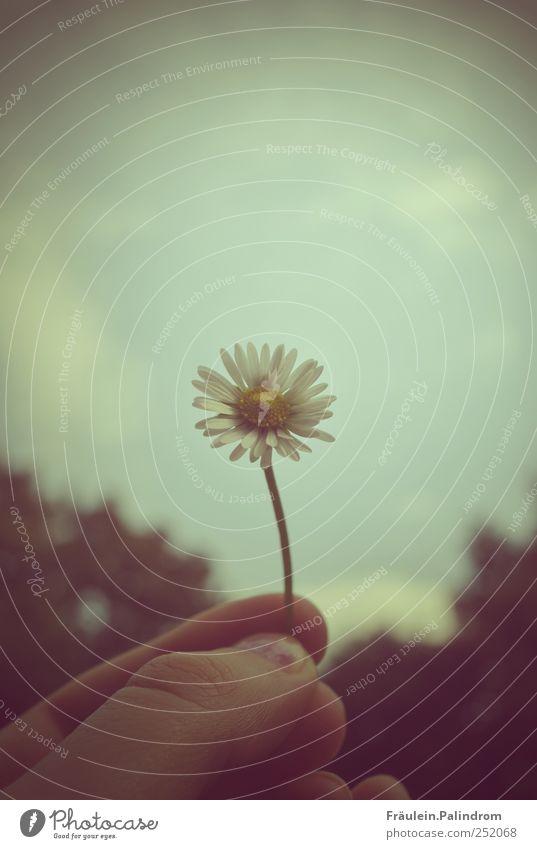 Tausendschön II. Frau Erwachsene Hand Finger Natur Pflanze Himmel Schönes Wetter schlechtes Wetter Baum Blume Blüte Gänseblümchen Garten Park frei weiß
