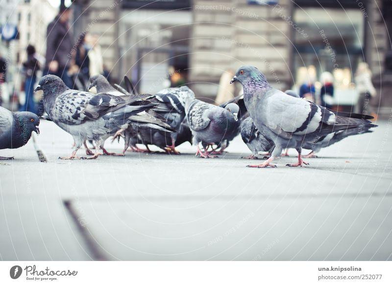 taubenperspektive Stadt Tier Vogel Beton Platz natürlich Wildtier Feder Tiergruppe Flügel beobachten Österreich Taube Fressen Wien Marktplatz