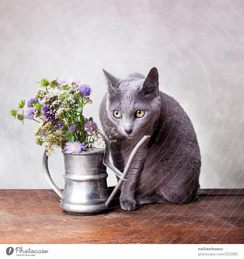 Stilleben mit Katze Innenarchitektur Dekoration & Verzierung Pflanze Blume Wildpflanze Wiesenblume Tier Haustier Russisch Blau kurzhaarig 1 Gießkanne beobachten