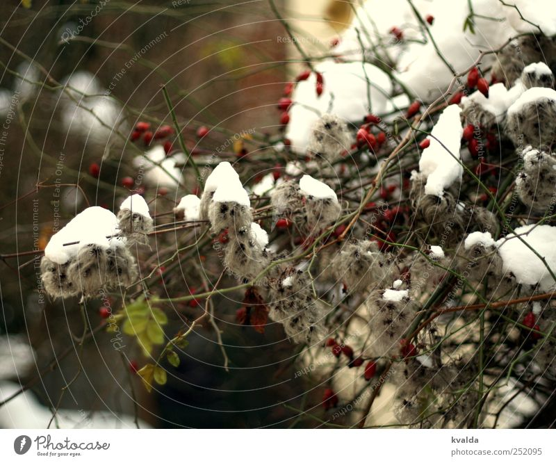 Schneedecke Natur weiß grün Pflanze rot Blatt Winter kalt grau Zufriedenheit Sträucher Frost Ast Dezember Februar