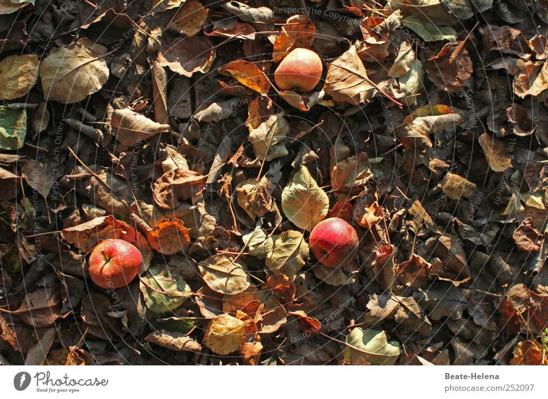 Apfellager für Lageräpfel Ernährung Natur Herbst Feld wählen Duft fallen festhalten Wachstum braun rot Lagerapfel Vorratskammer Ernte Apfelernte Blatt Laubbett
