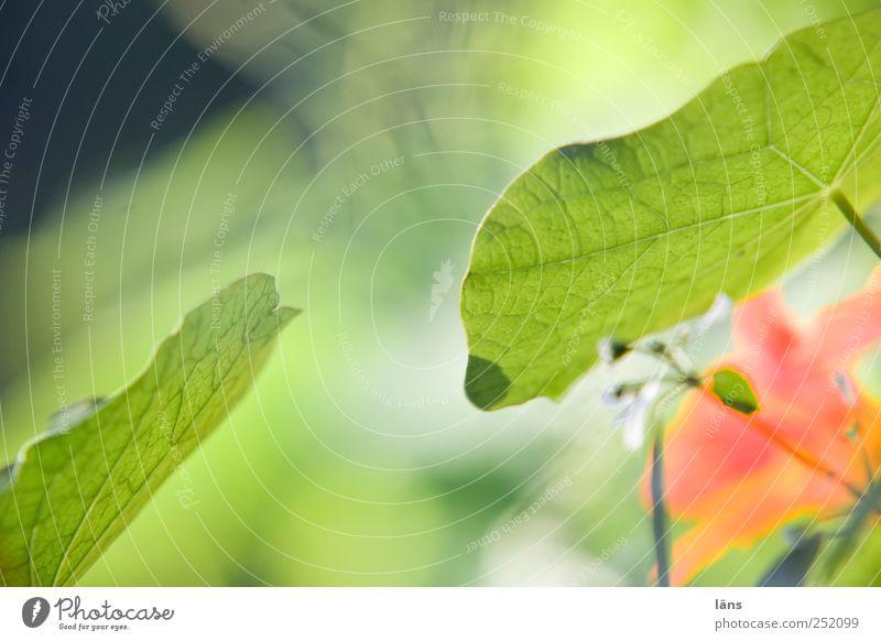 begegnung grün Pflanze Blatt Umwelt Garten Blüte berühren Blühend Kapuzinerkresse
