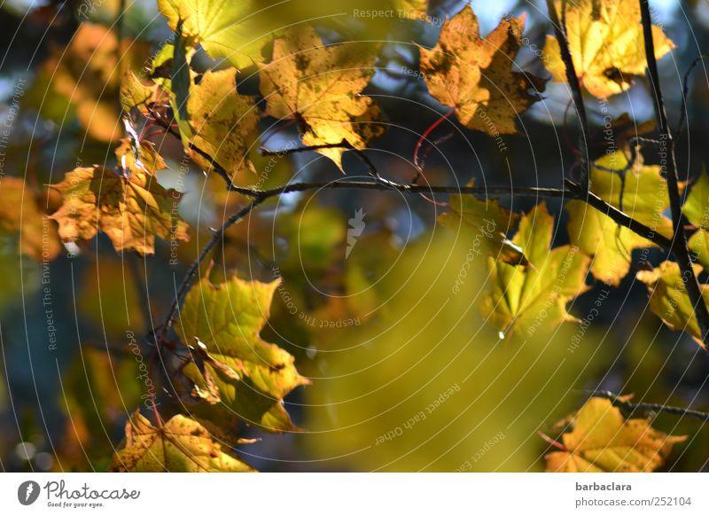 Autumn Leaves Herbst Baum Blatt Herbstlaub hängen leuchten viele blau braun gelb gold grün Farbe Stimmung Farbfoto Außenaufnahme Menschenleer Tag Licht