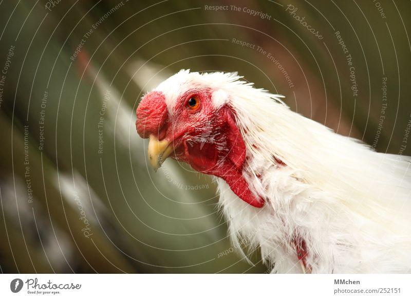 Fliegen müsste man können Garten Natur Tier Haustier Nutztier Tiergesicht Zoo Haushuhn Hahn 1 beobachten Blick frech Neugier grün rot weiß Optimismus Überleben
