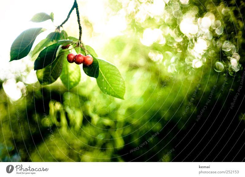 Mon Chérie in Rohform Natur grün Baum Pflanze rot Sonne Sommer Blatt Umwelt Garten Lebensmittel hell glänzend Frucht Wachstum Schönes Wetter