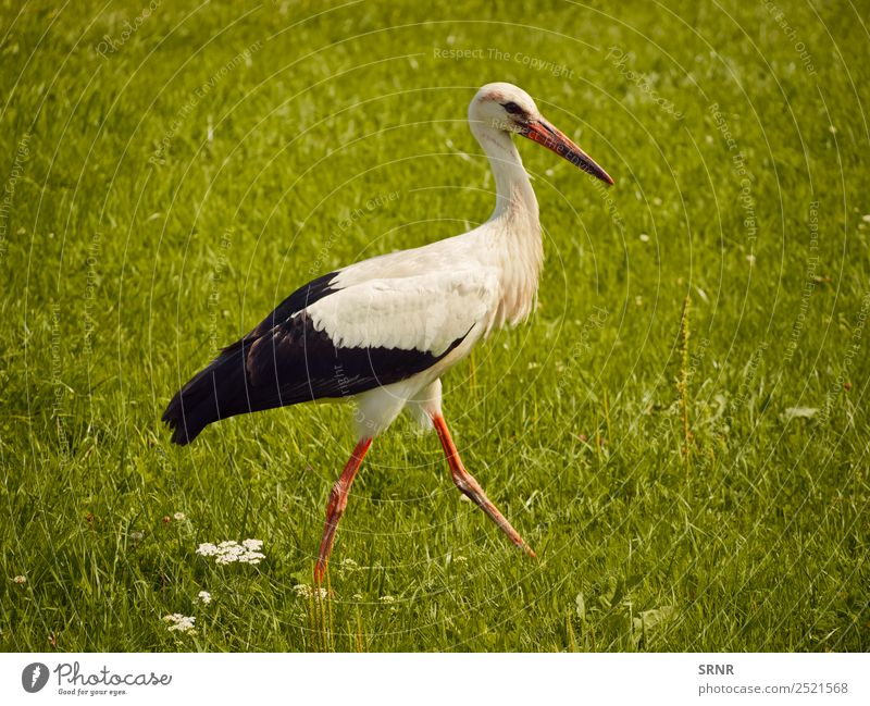 Storch auf grünem Rasen Sommer Natur Tier Gras Vogel 1 Bewegung wild Feder Schnabel Tierwelt Frühling laufen Farbfoto Menschenleer