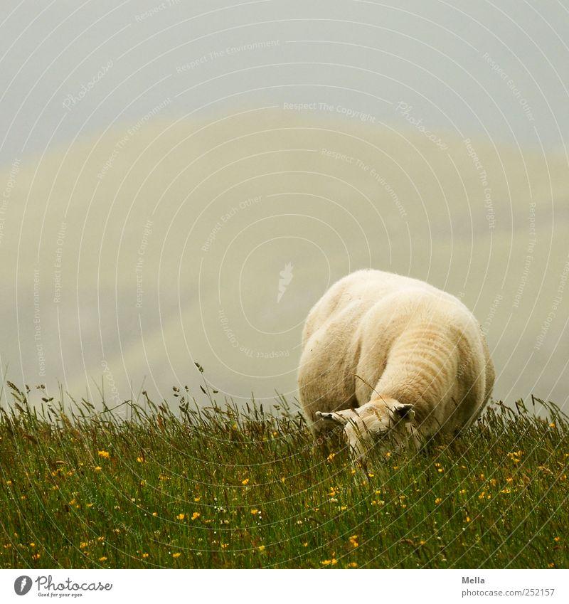 Schaftag Natur grün Tier Wiese Umwelt Landschaft einzeln Fressen nachhaltig Nutztier
