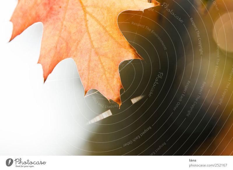gespannt Natur Baum Pflanze Blatt Herbst braun Spinnennetz Eichenblatt