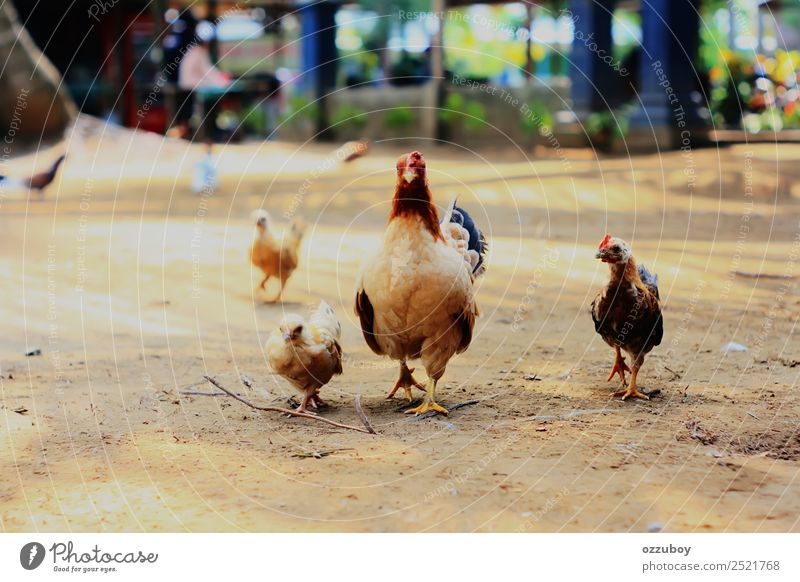Hausgemachtes Huhn Tier Nutztier Küken Hähnchen 3 4 Tiergruppe Tierjunges Tierfamilie Bewegung selbstbewußt Tierliebe Partnerschaft Außenaufnahme laufen