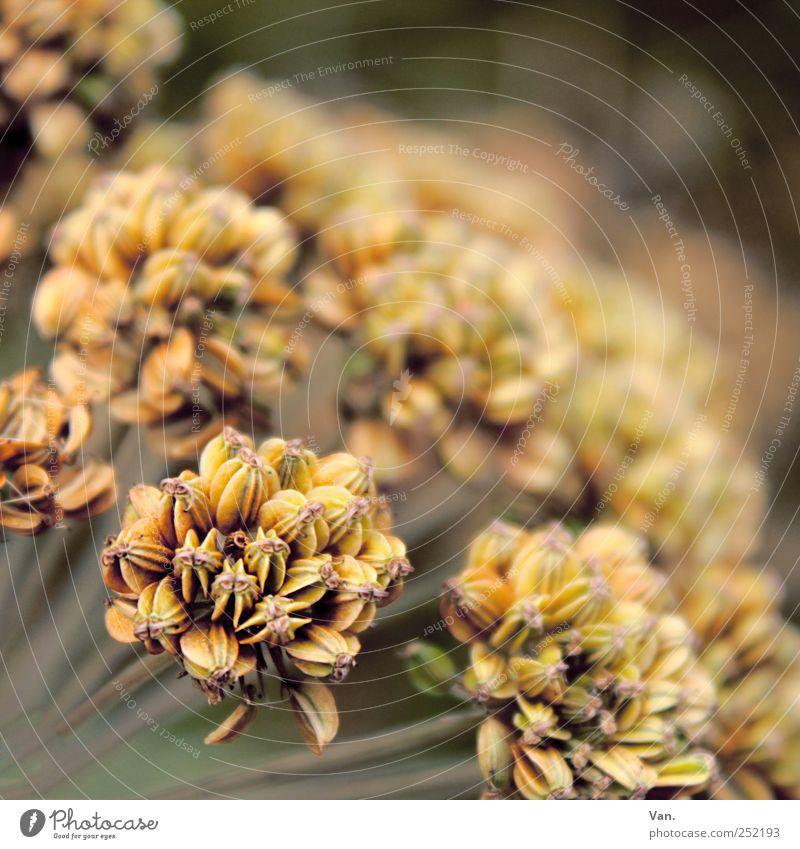 Stories of Old Natur Pflanze Herbst Blume Blüte Wiese braun gelb verblüht vertrocknet Farbfoto Gedeckte Farben Außenaufnahme Nahaufnahme Menschenleer Tag