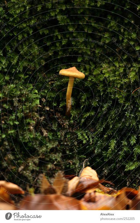 Pilzig Hallozinogen Jagd Pflanze Blatt Moos Moosteppich Pilzhut Giftpflanze entdecken rund wild weich braun gelb grün Neugier Umwelt Verbote Vergänglichkeit