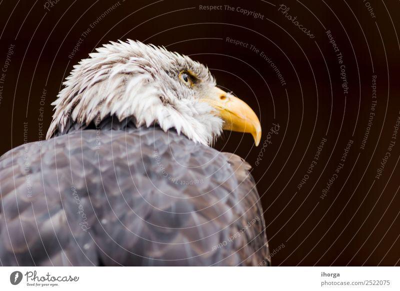Porträt eines Weißkopfseeadlers (Haliaeetus leucocephalus) Gesicht Freiheit Natur Tier Glatze Wildtier Vogel Flügel 1 schön wild braun gelb schwarz weiß